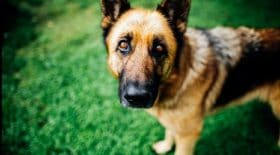chien-mort-du-coronavirus-il-etait-en-realite-atteint-dun-cancer