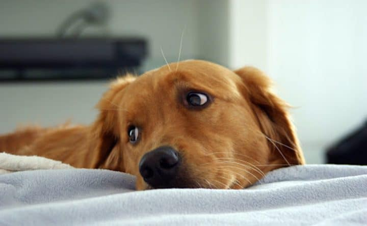 golden retriever chien abandonné
