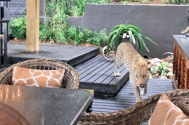 léopard chasse restaurant
