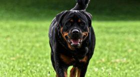 Un Rottweiler attaque son maître et le tue