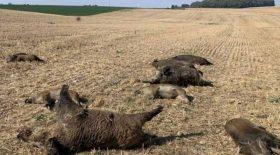 Une dizaine de sangliers ont été retrouvés écrasés dans un champs dans les Vosges