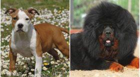quelles sont les races de chiens les plus dangereuses?