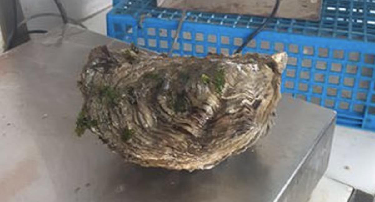 Cet ostréiculteur a trouvé la plus grosse huître du monde : son poids est impressionnant ! (Vidéo)