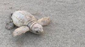 incroyable-une-tortue-mer-blanche-fait-son-apparition-caroline-du-sud