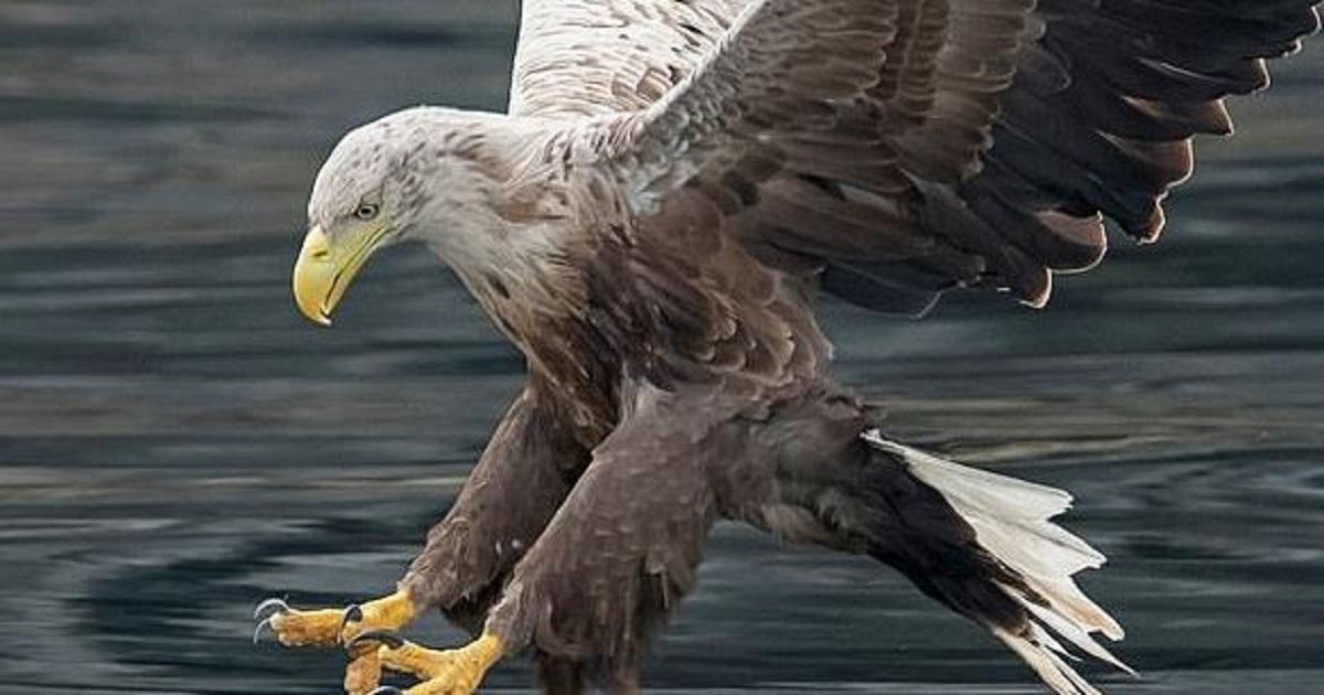 Un aigle disparu il y a 100 ans refait son apparition au Royaume-Uni !