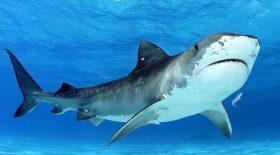 Elle se fait mordre la jambe par un requin-tigre
