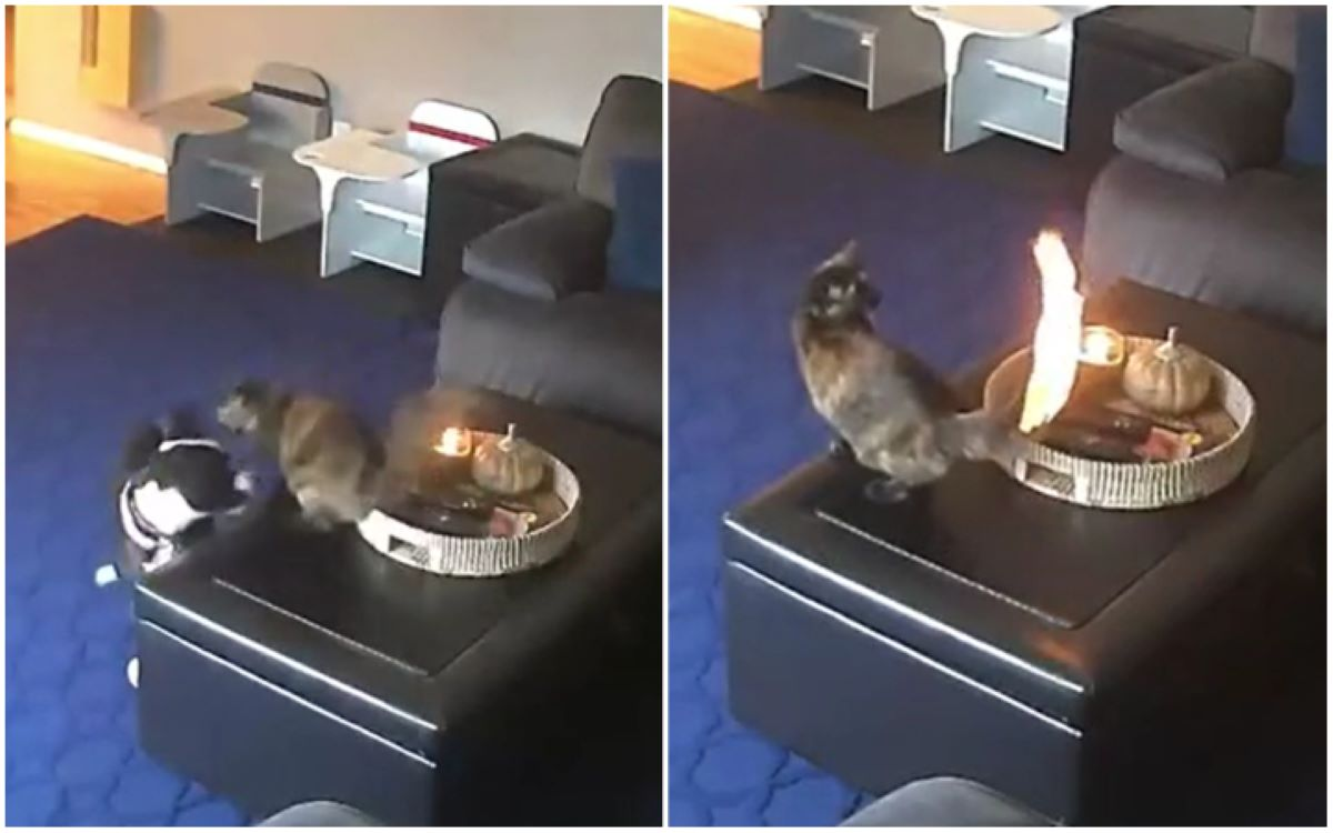 La queue d'un chat prend feu alors qu'il joue sur la table (VIDEO)