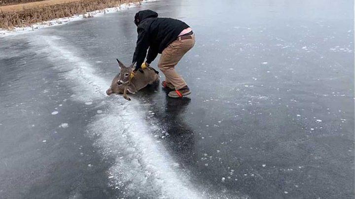 il sauve une biche en la poussant sur un lac gelé