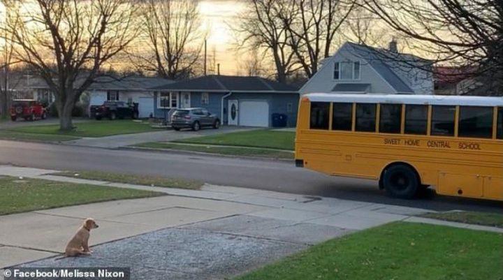 Golden Retriever qui attends l'autobus des enfants