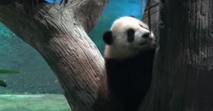 un-panda-geant-ne-en-captivite-fait-ses-premiers-pas-public