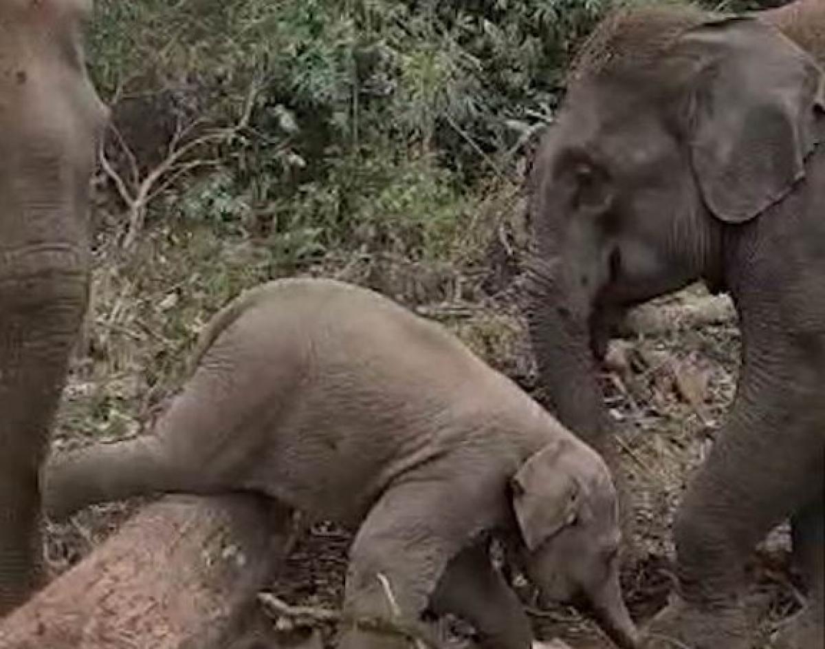 Un bébé éléphant trop craquant tente d'enjamber un tronc d'arbre pour rejoindre sa maman et se coince dessus (Vidéo)