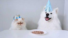 chien samoyède devient ami chat boudeur