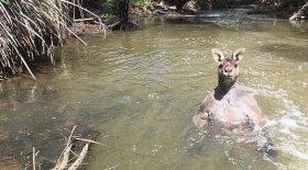 Avec son chien, il se retrouve face à un impressionnant kangourou
