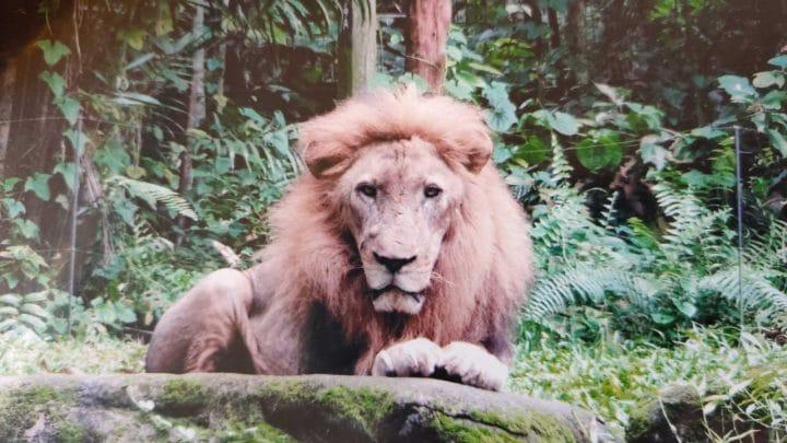 lion mâle meurt en donnant son sperme par électro-éjaculation