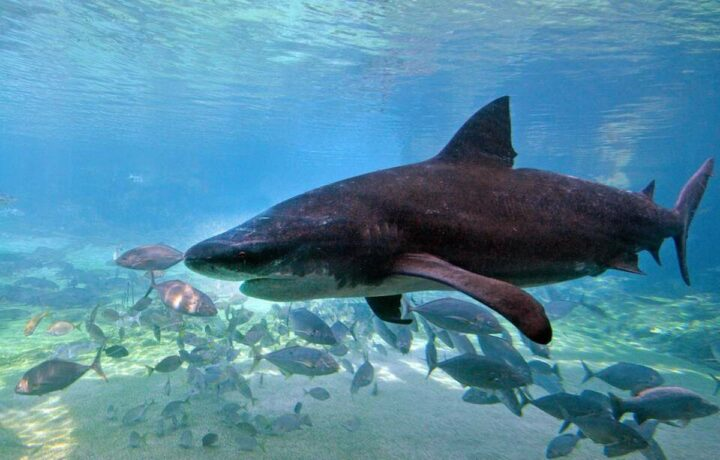 requin mort nouvelle calédonie