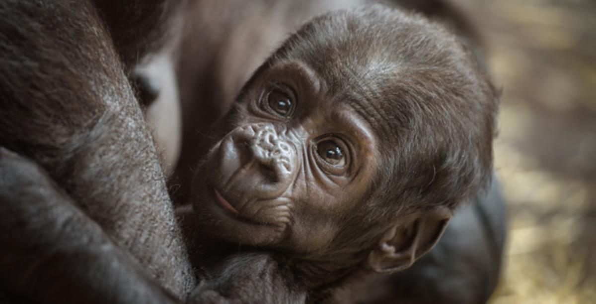 Les images adorables d'un bébé gorille qui s'agrippe à sa mère pour se protéger et être rassuré !