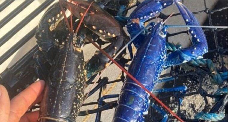Il a la surprise de pêcher un très rare homard bleu (vidéo)