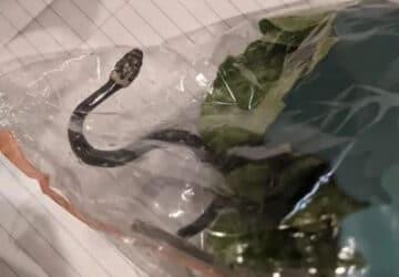 Serpent salade australie