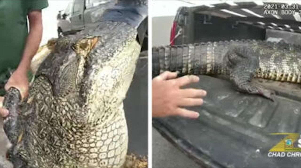 Un énorme alligator a été retrouvé sous une voiture ! (vidéo)