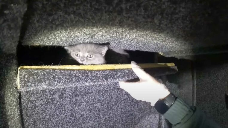 des chats Scottish Field cachés dans le double-fond d'un bus
