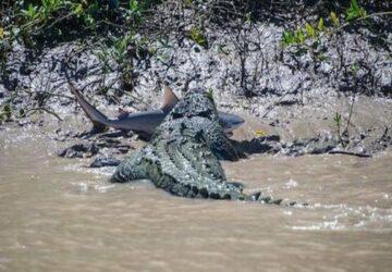 crocodile-requin