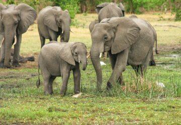 éléphants braconnier pietinné
