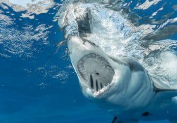 nouvelle caledonie attaque requin