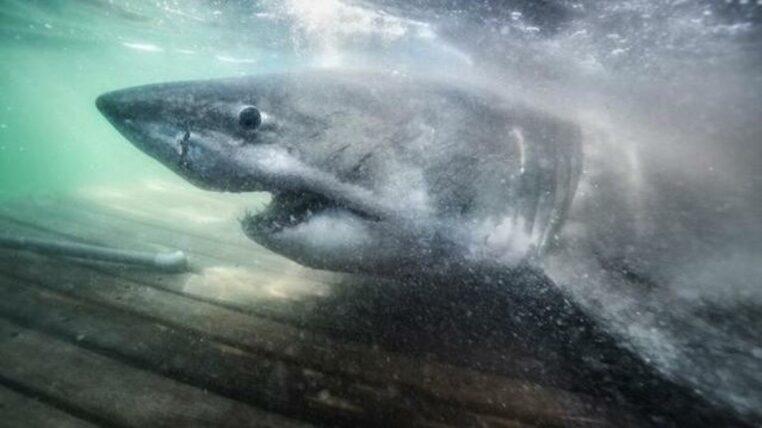 Pourquoi ce requin blanc se dirige vers l'Europe ?