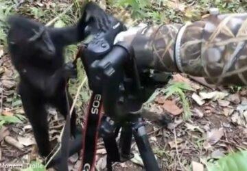 Un singe imite un photographe animalier et c'est hilarant !