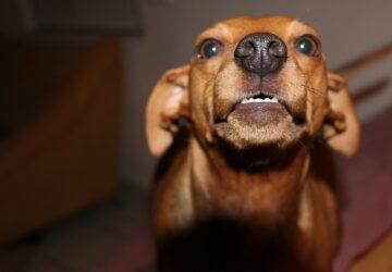 Les petits chiens plus susceptibles d'être agressifs que les plus grands