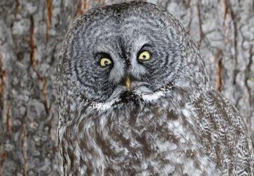 Son plumage gris et brun lui permet de bien se cacher dans les bois, car il est un bon camouflage.