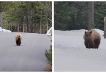 joggeur-poursuivi-ours