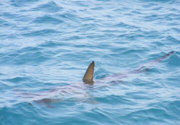 surfeur deces requin