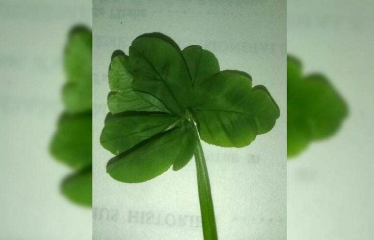 trèfle 7 feuilles
