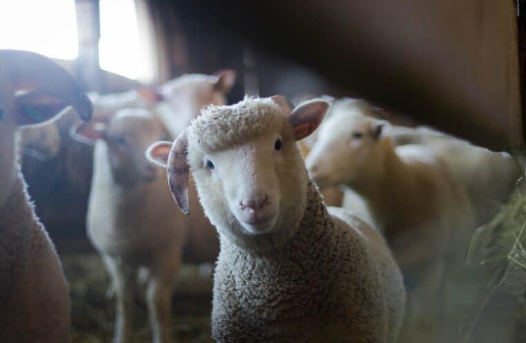 Aïd : 4 hommes arrêtés pour avoir égorgé des moutons