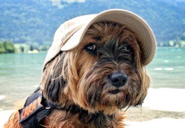 Un chien parcourt près de 400 km pour retrouver ses maîtres