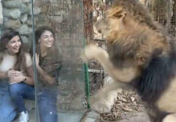 cage en verre dans un zoo enclos des lions polémique