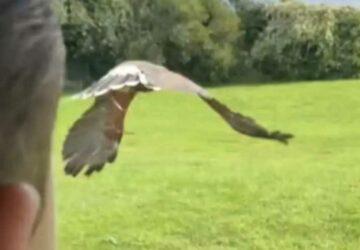 il lance son faucon pour qu'il attaque les oiseaux