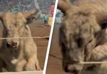un taureau saute dans le public d'un rodéo