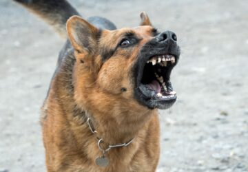 Mordue à la fesse par un chien, une strip-teaseuse réclame 5000 euros au propriétaire