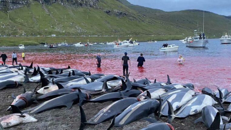 dauphins tués pendant la chasse aux iles féroé