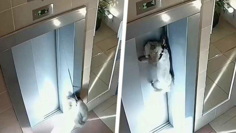 chien en laisse pendu ascenseur