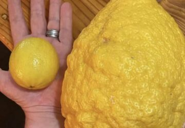 un énorme citron