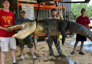 un alligator avait avalé une flèche préhistorique