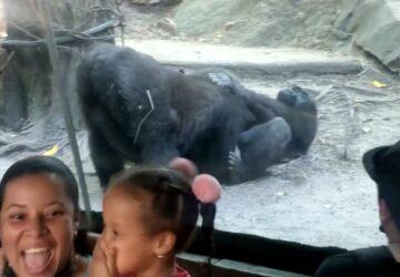 les enfants sont choqués par ce gorille qui fait une fellation au zoo