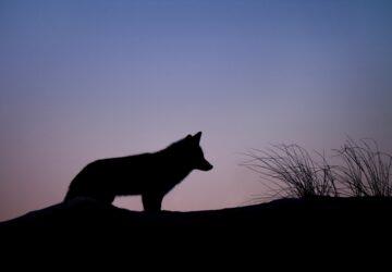 hautes alpes loup mort assassine