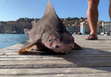 Poisson mi-requin mi-cochon
