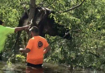 vache coincée dans un arbre