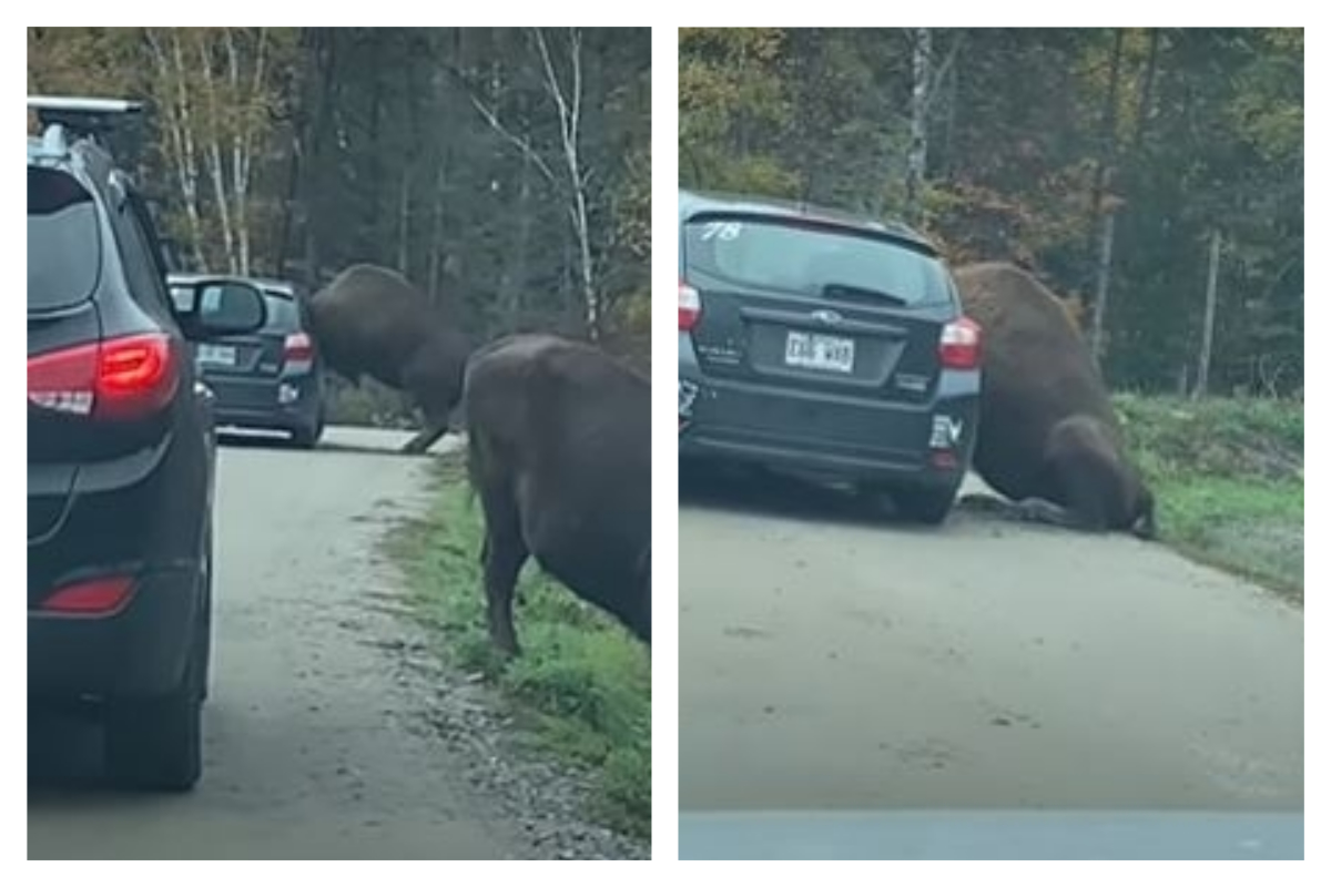 Impressionnant : un bison se bloque la tête à l'intérieur d'une voiture dans un parc animalier (vidéo)