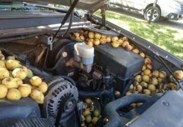un écureuil stocke des noix dans le moteur de sa voiture